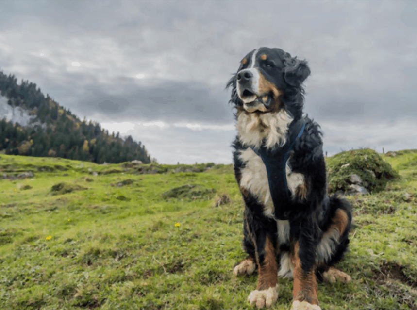 Appenzell Mountain Dog Tips Tricks For Pets