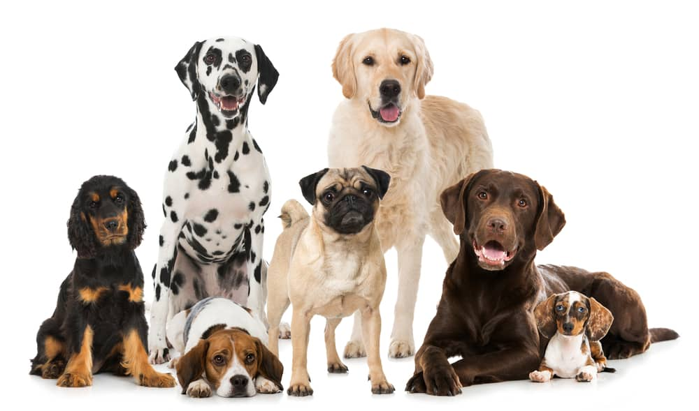 How Are Dog Breeds Created