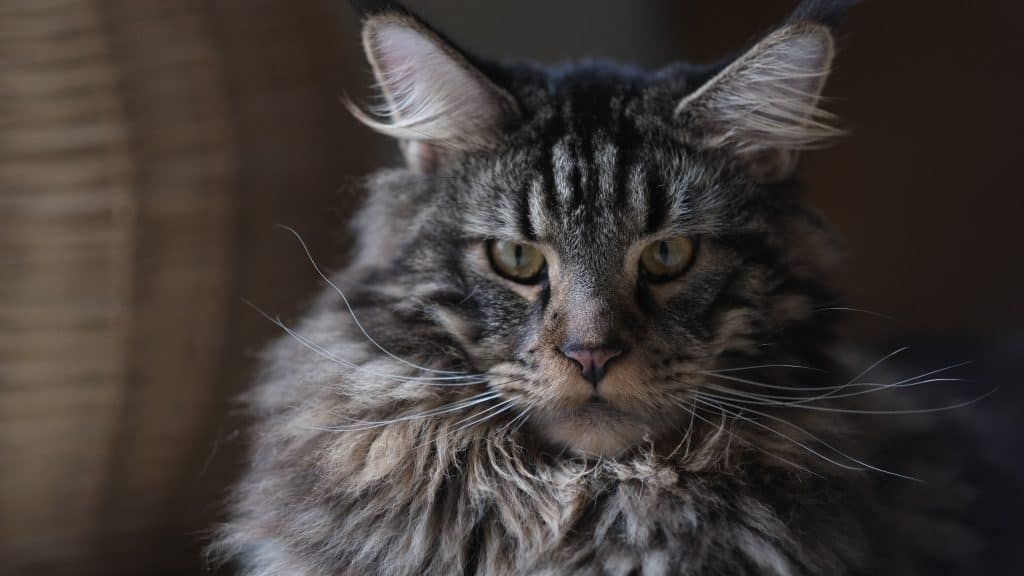 Are Maine Coon Cats Friendly