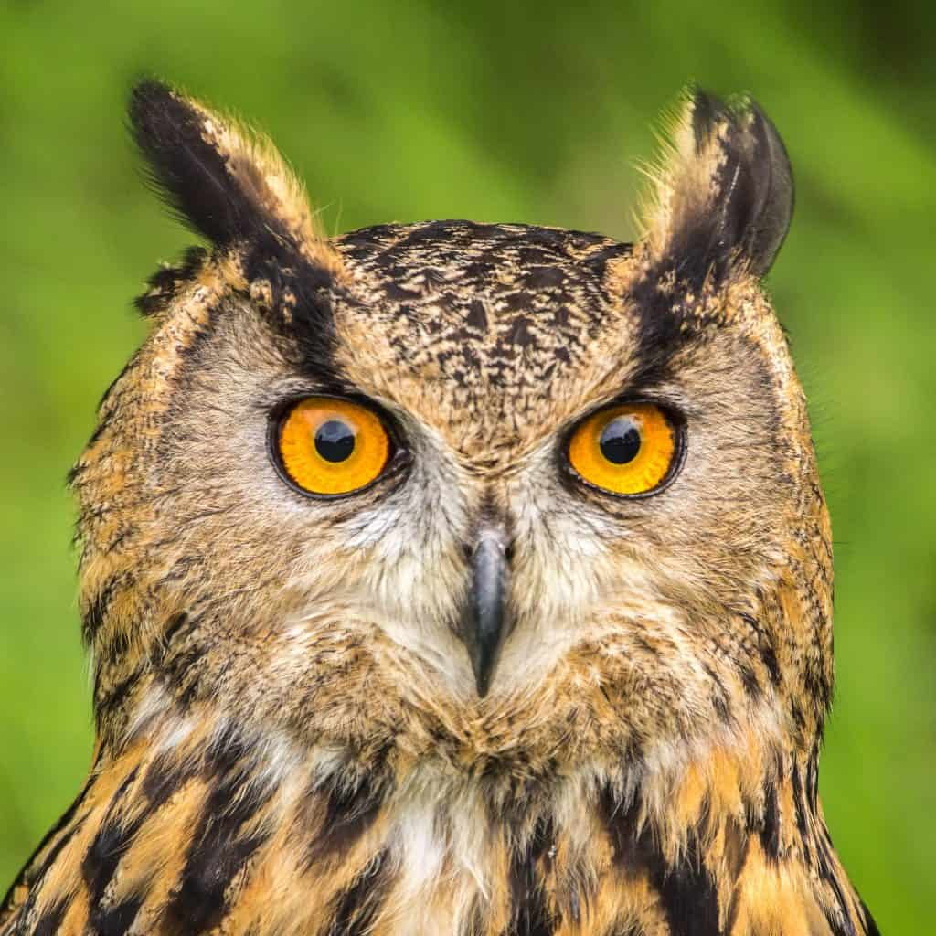 Can You Have a Pet Owl In The UK