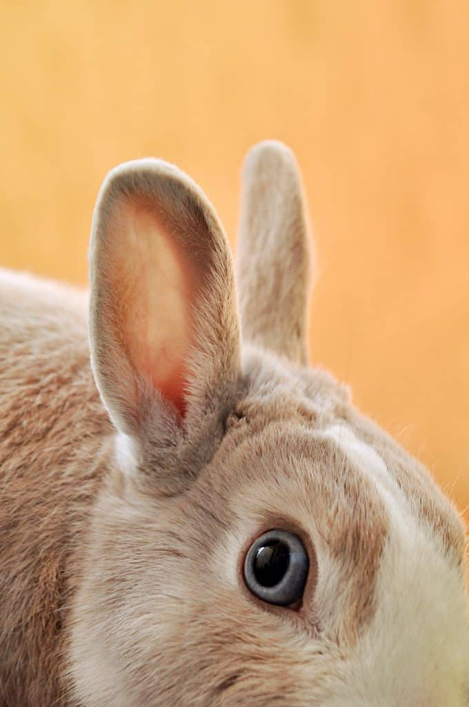 What Is The Lifespan Of A Pet Rabbit
