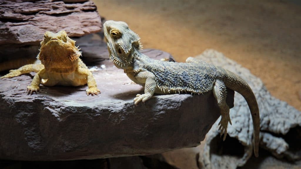How Do Bearded Dragons Mate